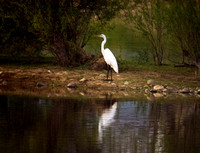 White Egret-screened