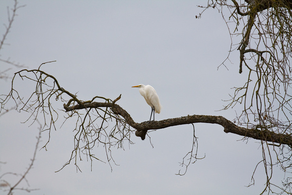 Egret on a Limb